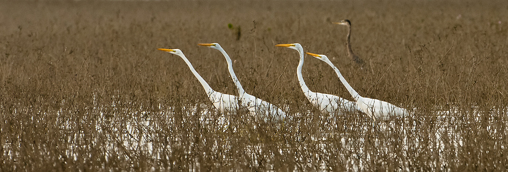 Great Egrets in the grass at Crooked Tree, Belize