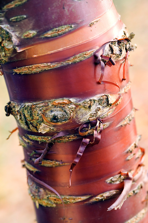 Prunus serrula <br /> Paperbark Cherry <br /> Shiny &amp; peeling copper coloured bark on trunk
