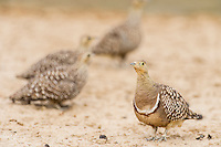 Male Namaqua Sandgrouse with females in the background, Kgalagadi Transfrontier Park, Northern Cape, South Africa