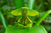 Hooded mantis (Choerododis rhombifolia), Costa Rica Image by Andres Morya
