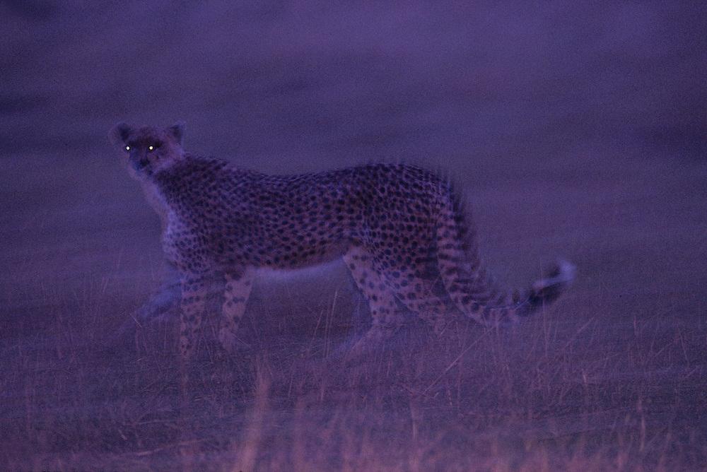 Kenya, Masai Mara Game Reserve, Blurred image of Adult Female Cheetah (Acinonyx jubatas) walking across savanna at dusk