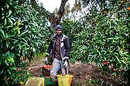 Rosarno, Italia - 19 dicembre 2010. Un immigrato mentre raccoglie mandarini in un campo a Rosarno. La paga giornaliera per ogni immigrato va dai 25 ai 30 euro..Ph. Roberto Salomone Ag. Controluce.ITALY - An immigrant collects tangerines in in Rosarno on December 19, 2010.