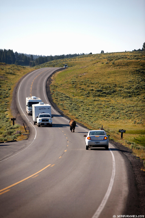 A casual bison saunters down the road stopping traffic in Yellowstone National Park.