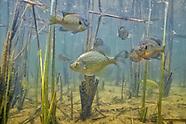 Panfish Collection
