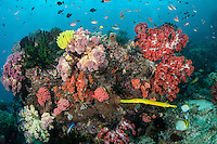 Reef Scenic with Soft Corals, Golden Trumpetfish..Shot in Indonesia..