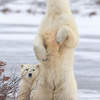 Churchill, Canada<br /> A polar bear cub snuggles in behind mom, as she stands up and surveys her the tundra surroundings.<br /> The mother bear stood up so abruptly that it was difficult to fit her in frame with the 600mm telephoto. I quickly switched the orientation to portrait and rapidly took several steps back. I stopped the aperture down slightly and placed an AF square directly on her chest, thereby ensuring optimal depth of field. Had she pointed her nose skywards, a piece of her would have been clipped. <br /> Canon EOS 1DX, Canon EF 600mm f/4 L IS II USM, handheld<br /> 1/640s; f/8; 600mm ; ISO800  Post Processing done using Lightroom 5.7.1