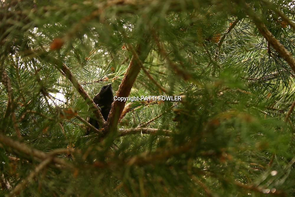 Black bird in evergreen tree