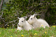 Twin mountain goat kids (Oreamnos americanus) nestle close together amongst Glacier Lillies, Northern Montana