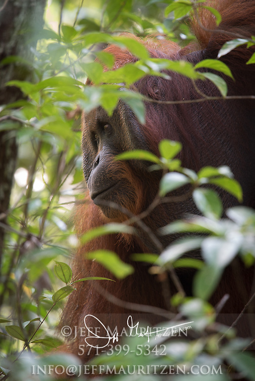 Side profile of an adult male Bornean orangutan in the forests of Tanjung Puting National Park, Indonesia.