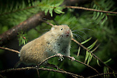 Rarely Seen - The Red Tree Vole