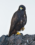 A Galápagos Hawk (Buteo galapagoensis) rests at Suaraz Point, a wet landing location on Española (Hood) Island, Galápagos Islands, Ecuador, South America. Their numbers have been wiped out by human-caused disturbance, and only 150 mating pairs of this rare hawk exist. As the most recent natural animal arrival on the Galápagos archipelago 300,000 years ago, and as the only original predator, this endemic raptor is known for its fearlessness towards humans and authority over other birds. Females are noticeably larger than males as in many species of birds of prey. Mature adults are generally a sooty brownish black with a slightly darker crown. Pale brown, grey, or buff feathers line the edge of the mantle, and the tail is a silvery grey. Their grayish black bill contrasts with a yellow cere, legs and feet. Juveniles are a blackish brown, mottled with buff and white and a black streak extending from the corners of their mouth. Unlike adults, juveniles' bills are blue-grey at the base, their cere a grey-green (a soft, fleshy swelling found on the beak), and their feet a pale yellow-green.