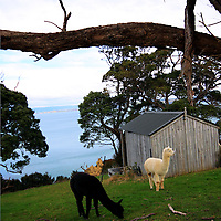 Lamas, Waiheke Island, New Zealand