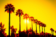 Color Infrared Photo of Palm Trees at Sunset