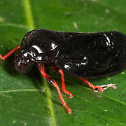 Simeliria viridans - Cercopidae are the largest family of Cercopoidea, a xylem-feeding insect group, commonly called froghoppers