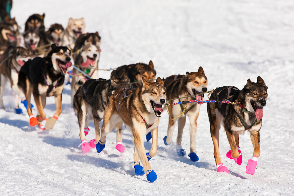 Musher William Pinkham's dogs in the 38th Iditarod Trail Sled Dog Race entering Long Lake after leaving the Willow Lake area at the restart in Southcentral Alaska.  Afternoon.