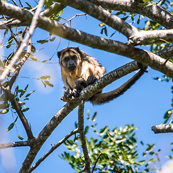 """Bugio-do-pantanal (Alouatta caraya) fotografado em Corumbá, Mato Grosso do Sul. Bioma Pantanal. Registro feito em 2017.<br /> <br /> <br /> <br /> ENGLISH: Black-and-gold Howler Monkey photographed in Corumbá, Mato Grosso do Sul. Pantanal Biome. Picture made in 2017."""