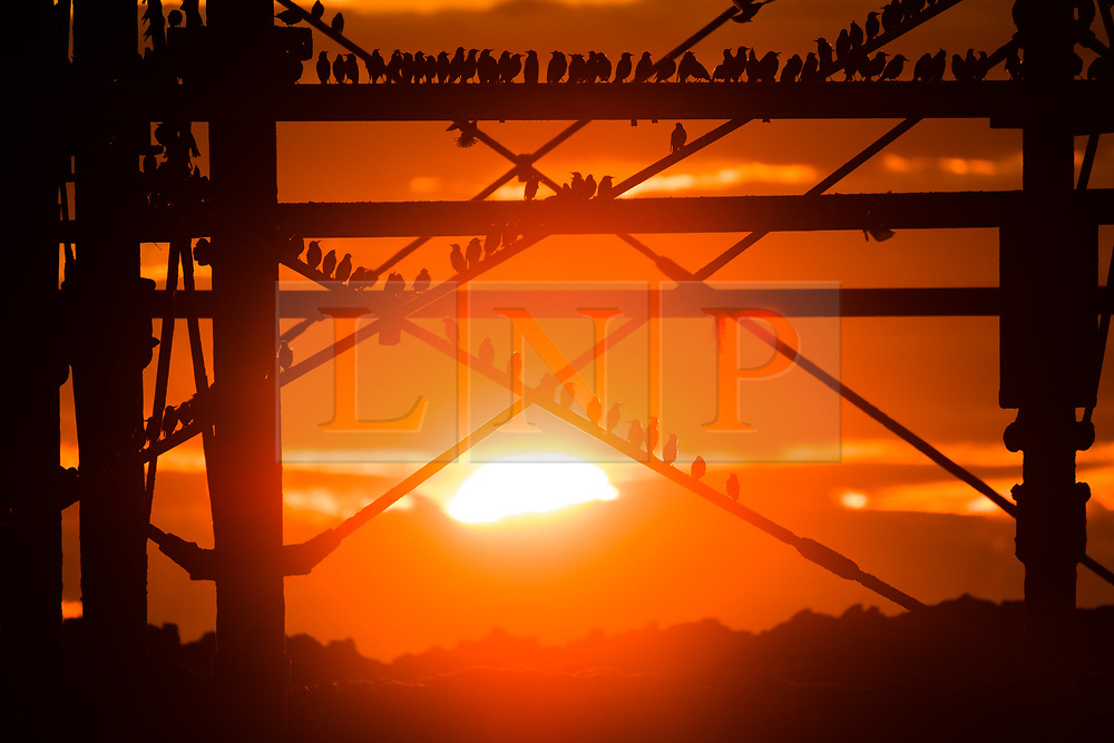© Licensed to London News Pictures. 4/02/2018. Aberystwyth, Wales, UK. At sunset on a clear, crisp and cold February evening in Aberystwyth, tens of thousands of tiny starlings roost for the night, huddled together for warmth and safety on the girders and beams underneath the town's distinctive Victorian era seaside pier. One of only a few urban roosts in the UK, Aberystwyth pier offers birdwatchers an unique opportunity to get 'up close' to these birds, which, although plentiful in Aberystwyth, are on the RSPB's 'red list' of endangered creatures. .Photo credit: Keith Morris/LNP