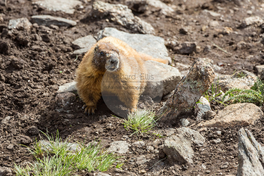A yellow bellied marmot digs for food along a mountain slope in the Rocky Mountain National Park in Estes Park, Colorado.