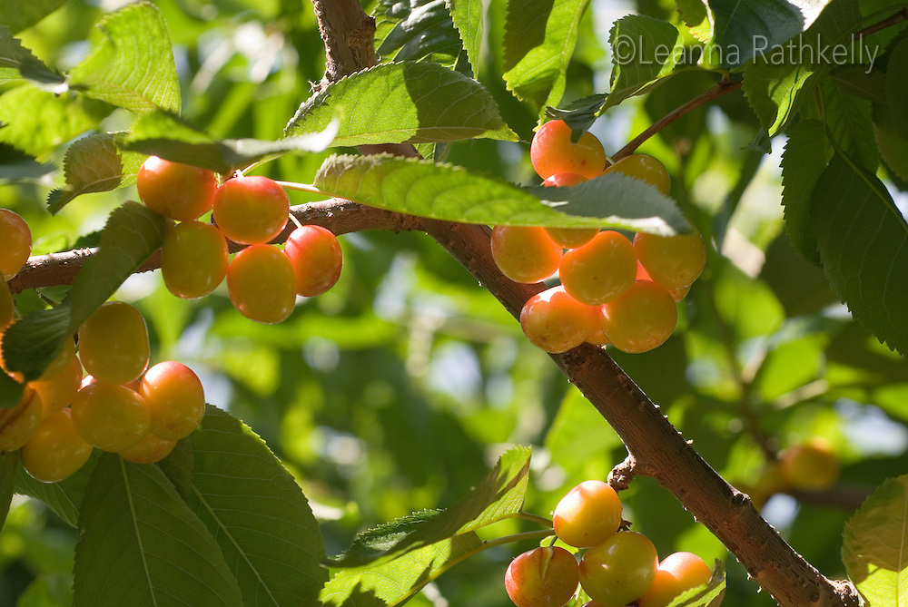 Ranier cherries ripen to a golden glow on a tree in an orchard in the Okanagan, BC Canada.