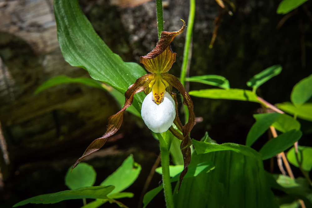 An exquisitely rare and beautiful native orchid in its natural environment! This mountain lady's-slipper (Cypripedium montanum) was part of a  small colony of individuals in the Alpine Lakes Wilderness of on the eastern side of the Cascade Mountains in Washington State.