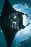 A Manta feeds near the surface.<br /> <br /> Shot in Indonesia