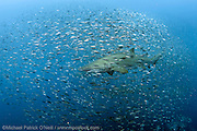 A Sand Tiger Shark, Carcharias taurus , swims through a cloud of baitfish over the Caribsea Shipwreck, an American ship torpedoed by the Germans during World War II offshore the Outer Banks, North Carolina, United States.