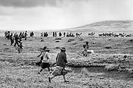 Pobladores de la comunidad persiguen a las vicuñas. / Community members pursue the vicuñas towards the fence.