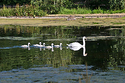 Image ©Licensed to i-Images Picture Agency. 12/06/2014. London, United Kingdom. A Swan family enjoy the sunshine in St James's Park. Picture by i-Images