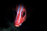 Sargocentron diadema (Crown squirrelfish)