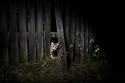 Domestic cat (Felis catus) looking through wooden fence at night. Lower Silesia. Poland.