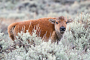 American Bison calf (Buffalo) in habitat