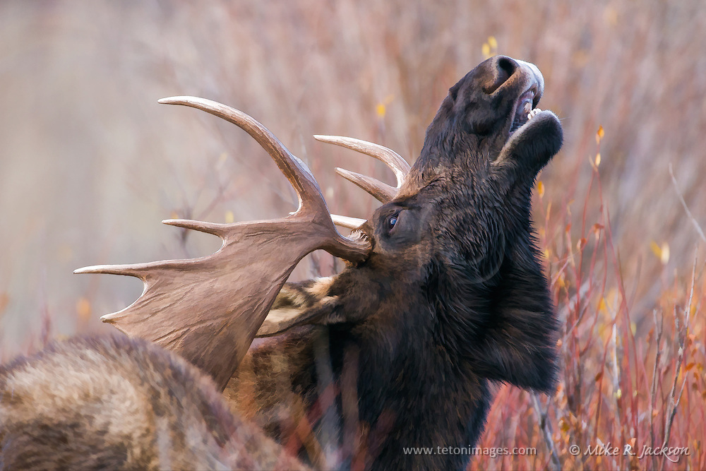 Bull moose during the fall rut in Grand Teton National Park.