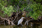 Great Blue Heron, Ardea herodias, on tree branches in the Everglades, Florida, USA