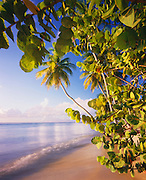 6210-1006B ~ Copyright: George H. H. Huey ~ Pigeon Point with sea grape [Coccoloba uvifera] and coconut palms [Cocos nicifera]. Island of Tobago. Trinidad and Tobago, Caribbean.