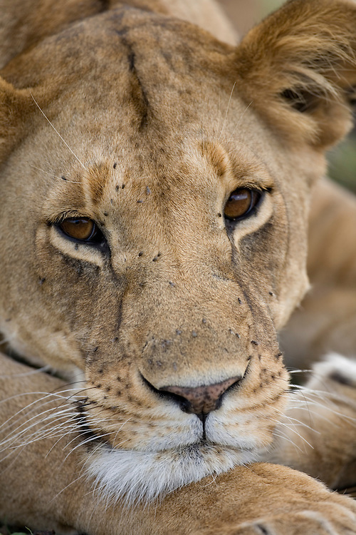 Africa, Kenya, Masai Mara Game Reserve, Portrait of Lioness (Panthera leo) covered with flies while resting on savanna