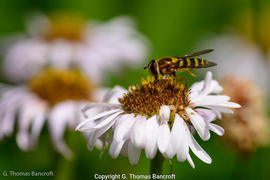 Syrphid Fly looks for pollen and nectar in an aster.