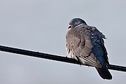 Wood pigeon bird, Columba palumbus, on wire at Woolacombe, North Devon, UK