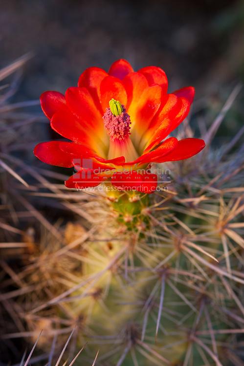 Echinocereus polyacanthus, Mojave Mound Cactus, Dryland Mesa Garden