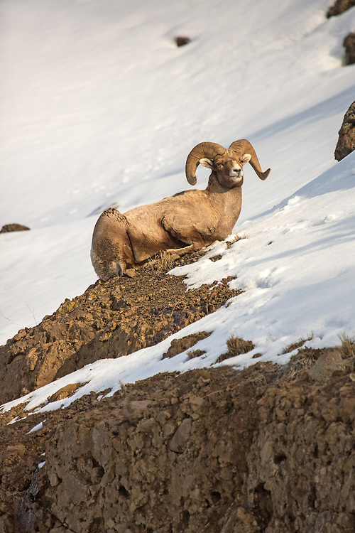 As evening approaches, bighorn sheep move from the low elevation meadows of the Shoshone National Forest to the craggy peaks of the Absaroka range where they spend the night. Once the sun rises, bighorns leave their evening perch and return the low country to feed.