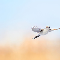 Northern Shrike hovering over bush in Hamilton Ontario Canada.