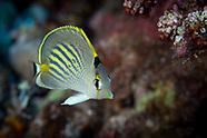 Chaetodon pelewensis (Dot Dash Butterflyfish)