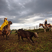 Cowboy Mike Flattery tries to rope the hind legs of a calf during a cattle roundup at the Bar B ranch near Albia, Iowa.   Watching at right is son Wyatt Flannery.  Calves were roped and seperated from the herd for vaccinations, branding and the placement of growth stimulant implants.  The male calves were also castrated.  Owner Catherine Bay runs the operation with a herd of over 2,000 cattle.