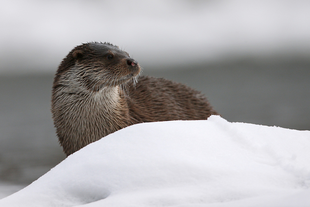 Eurasian Otter (Lutra lutra), the Carpathians; Carpathian Mountains; Bieszczady Mountains; Poland