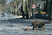 Wildschwein (Sus scrofa), Bache und sechs Frischlinge überqueren die Habichtstraße in Konradshöhe, Berlin, Deutschland. Wild boar, sow with six piglets crossing a street in Berlin, Germany.