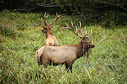 Two bull elks, one with grass on antlers