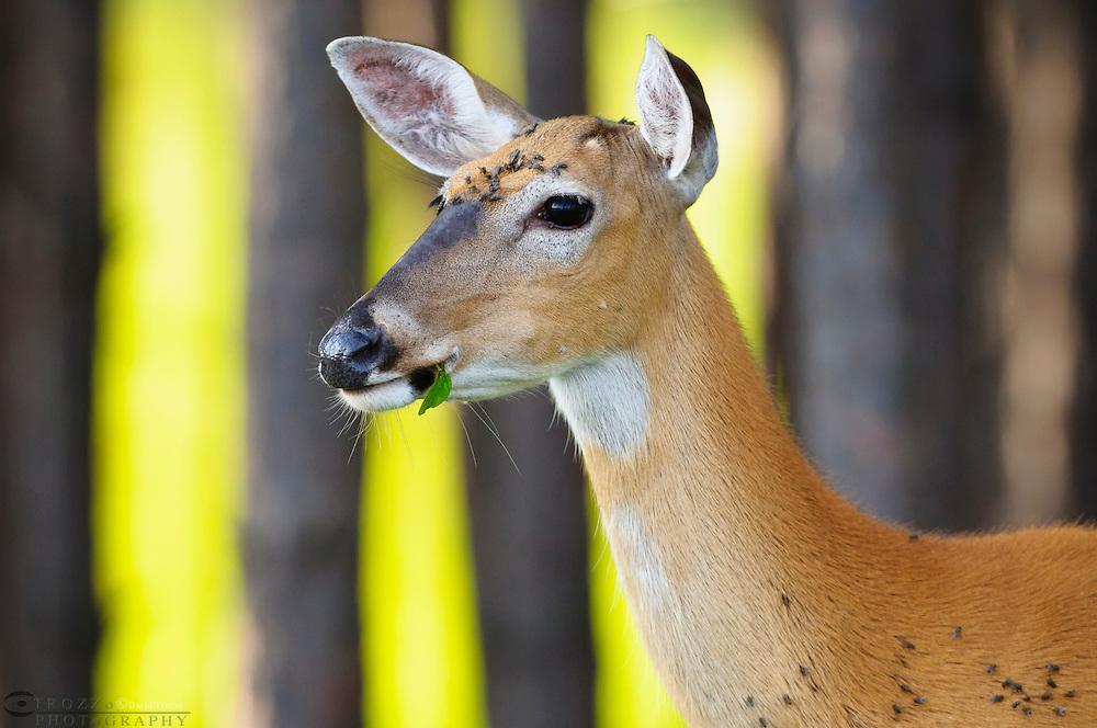 Deer flies on whitetail, Canann Valley, West Virginia, wv