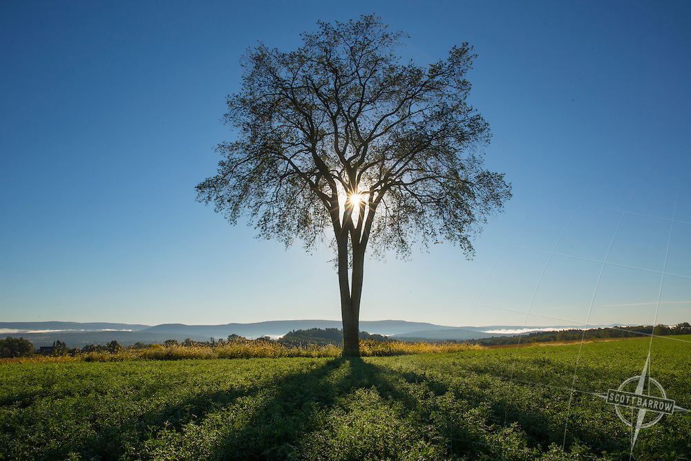 Elm tree in a field at sunrise or sunset.