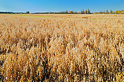 Oats. Field trial plot.  Agriculture Canada Research Station<br /> Indian Head<br /> Saskatchewan<br /> Canada