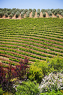 Vineyards and olive trees on a hillside, Franschhoek Valley, South Africa.
