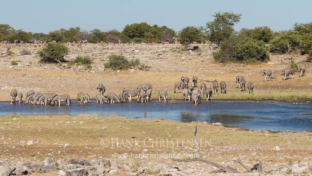 Herds of plains zebra and springbok visit a waterhole for a morning drink, Etosha National Park, Namibia.
